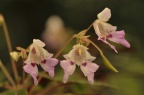 Impatiens travancorica